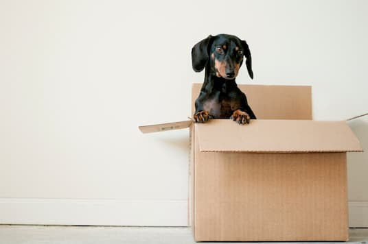A black and brown dog in a moving box